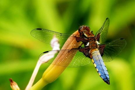 Männchen der Plattbauch-Libelle (Foto: Brümmer)