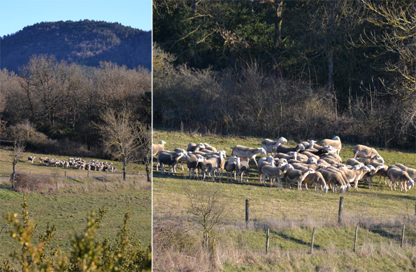 Lacaune-får