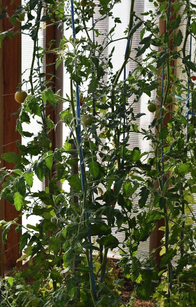 Egne tomater