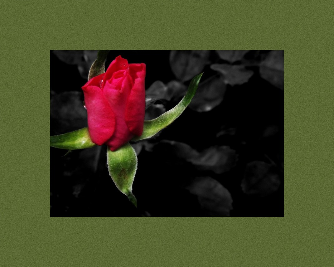 Red rose with a black and white background