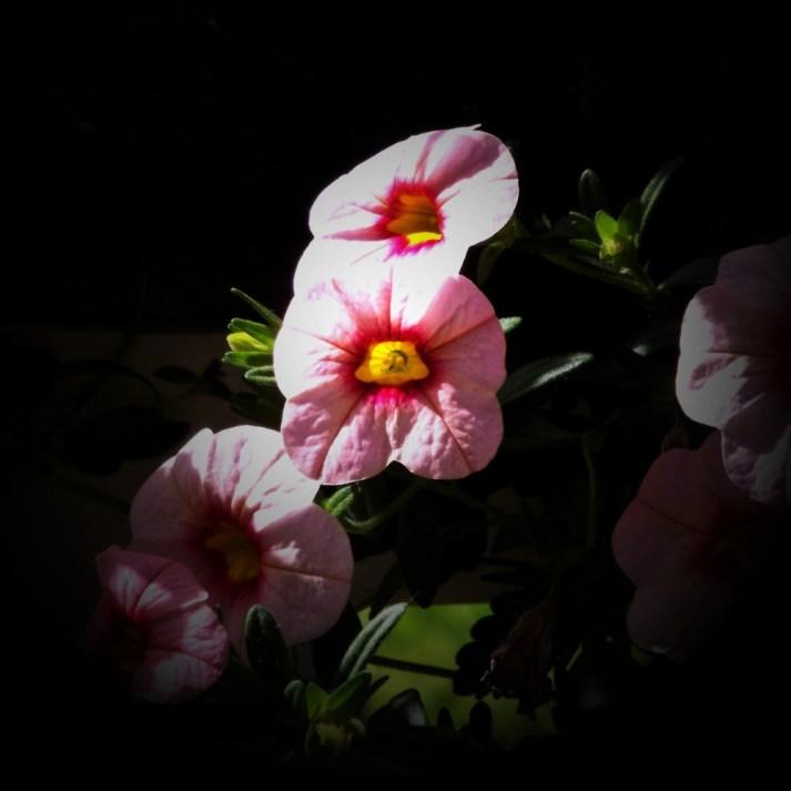 Hardy Petunia-1b