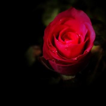 Red Rose-3c