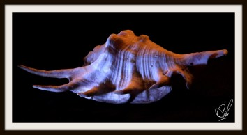 A color photograph of a seashell using two different light sources with a black background.