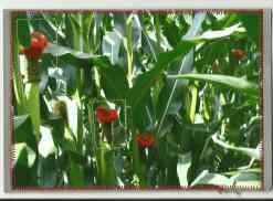 britta häkelblüten auf mais