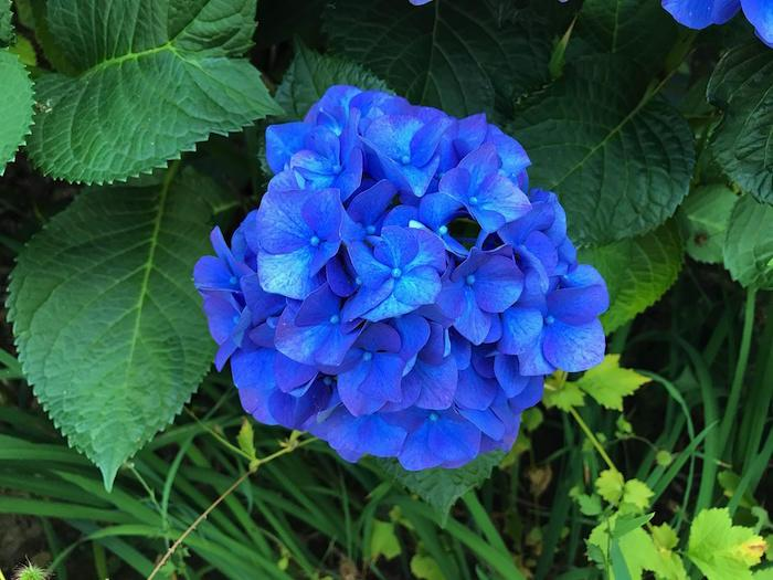 Bright, blue hydrangea bloom. Photo credit: Chris Branam, OSU