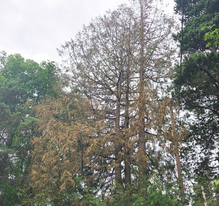 Dead cedar tree