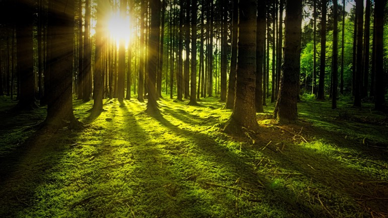 Sunlight streaming through tree trunks in forest.