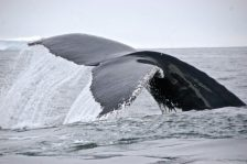 The BTBEL lab also conducts research on Humpback whales as another component of the Palmer LTER.