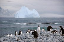 Gentoo penguins return from foraging trips in the evenings on Biscoe Island.