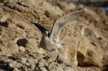 A juvenile gull striking a pose on Southeast Farallon Island, CA