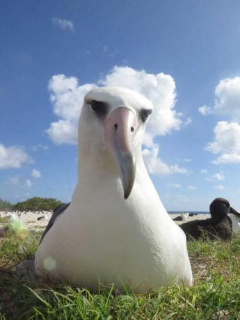 Laysan albatross.