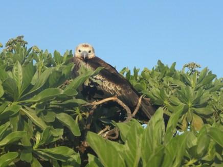 Frigatebird, Eastern Island.