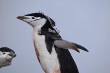 Chinstrap penguin (Pygoscelis antarcticus)