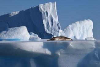 Crabeater seal (Lobodon carcinophagus)