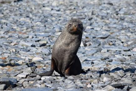 Southern fur seal (Arctocephalus gazella)