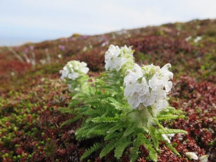 The elusive white lousewort