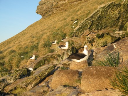 Black-browed albatrosses on their nest in late winter. Photo (c) Rachael Orben