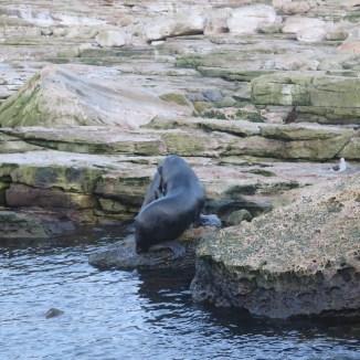 South American Sea Lion killing a small fur seal. Photo R. Orben