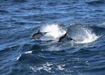Common dolphins (Delphinus delphis). Photo: Dawn Barlow.