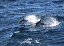 Common dolphins (Delphinus delphis). Photo: Dawn Barlow.