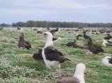 A GPS tagged Laysan albatross.