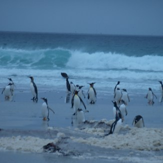 A southern sea lion on the hunt for penguins early in the morning at Volunteer Point, Falkland Islands. Photo: R. Orben