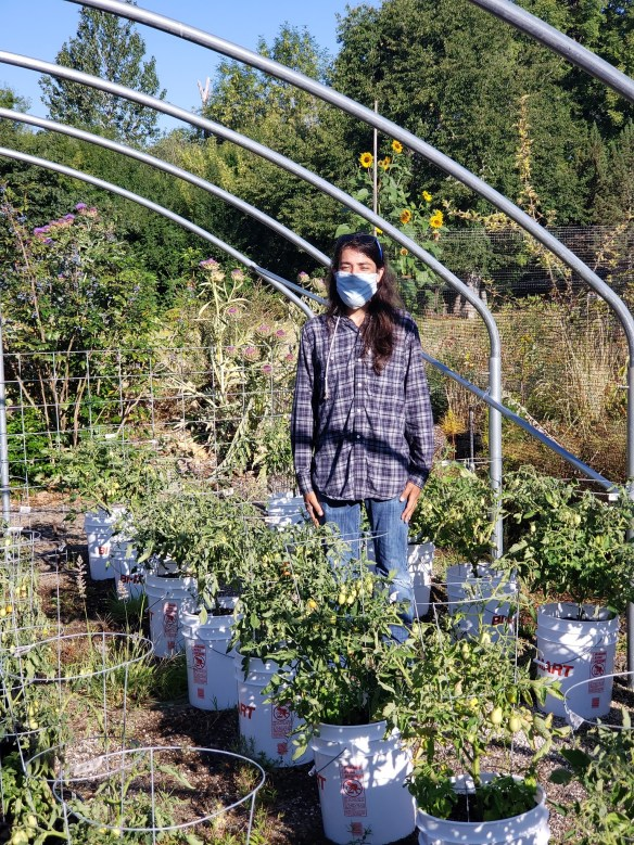 A student in jeans and a long sleeved shirt, wearing a mask, stands in the middle of his containerized tomato garden research plot.