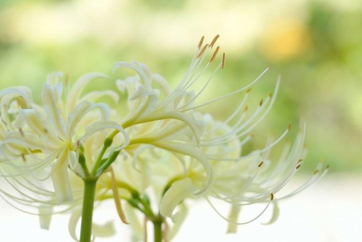 彼岸花について知っておこう!花言葉や色別の意味はあるの?