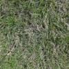 レーキで芝掻き@6月