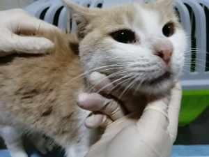 трахеит и гингивит у кошки