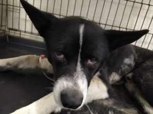 бездомная собака с травмами после ДТП