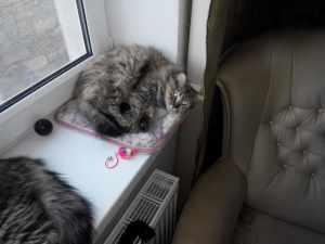пушистая серая кошка лежит на окне