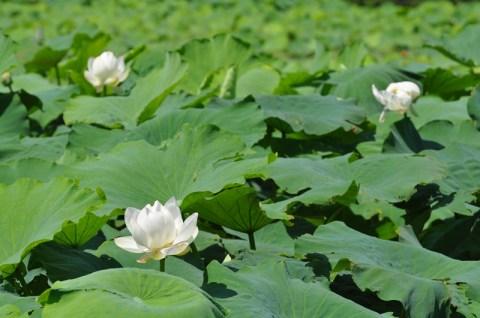 今川町の花池