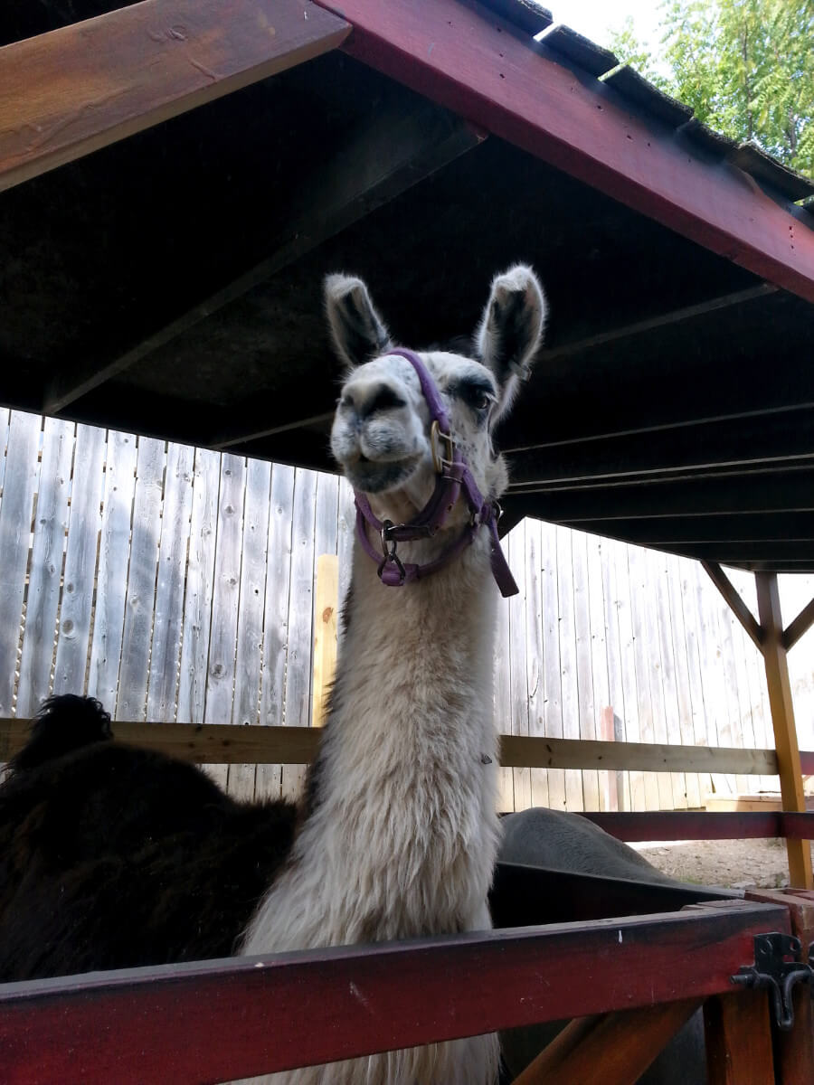 The most regal llama waiting for someone to come by with food at the Bristol Renaissance Faire's petting zoo.