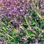 A sea of flowers, possibly lavender, at Planeta Winery in Sicily