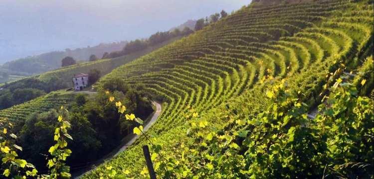 A sprawling vineyard somewhere in Friuli