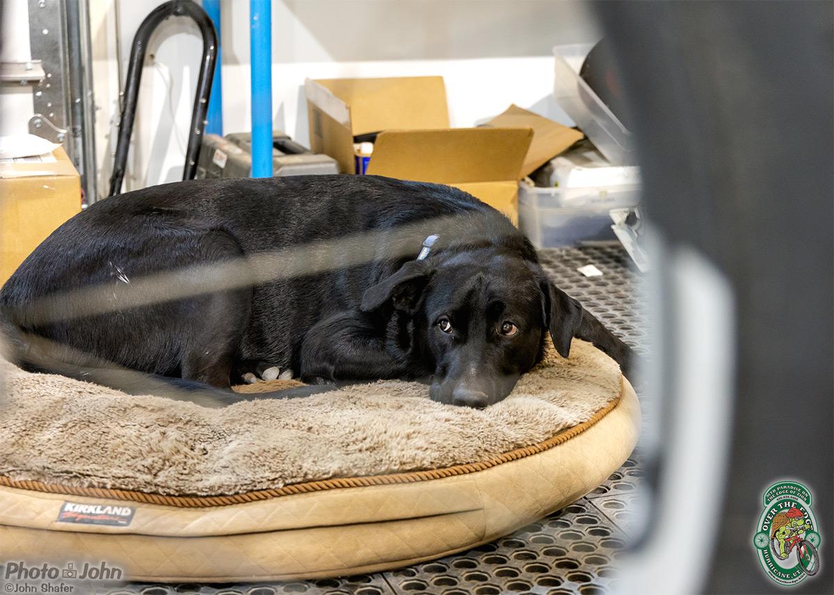A black labrador retriever, lying on a dog bed, seen through an out-of-focus mountain bike wheel.