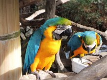 Another blue and gold macaw