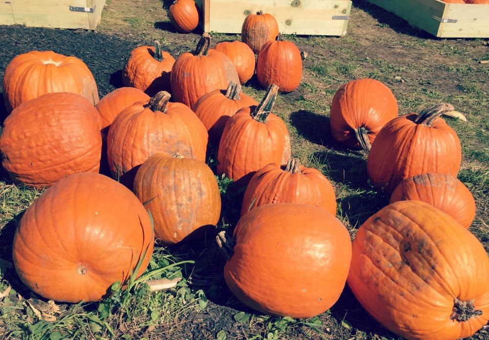konows-corn-maze-pumpkins