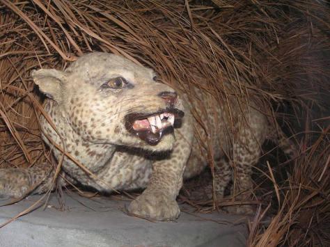 martin walsh helle goldman Zanzibar leopard