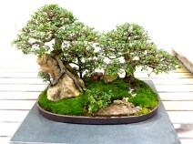Chinese Elm planted in 1984 on display at the National Bonsai and Penjing Collection