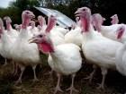 group-turkey-factory-farm-antibiotics