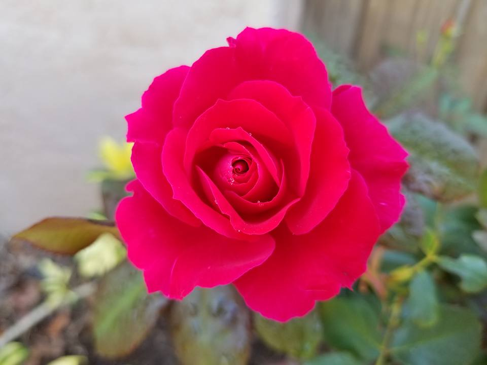 Roses are essential flowers for the witches garden.