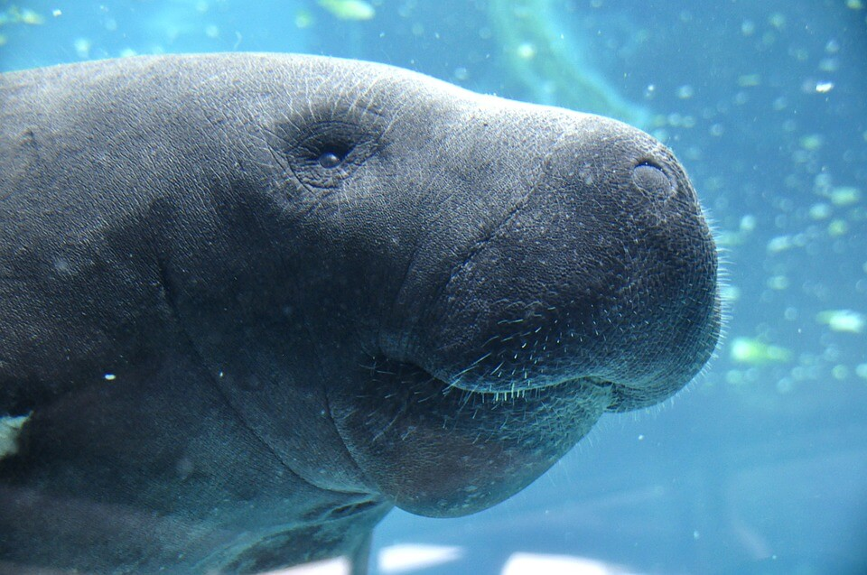 Manatees are the gentlest of the sea witch's familiars.