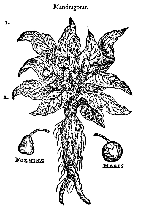 The mandrake root was widely used as a witch's tool and familiar spirit in the Dark Ages.