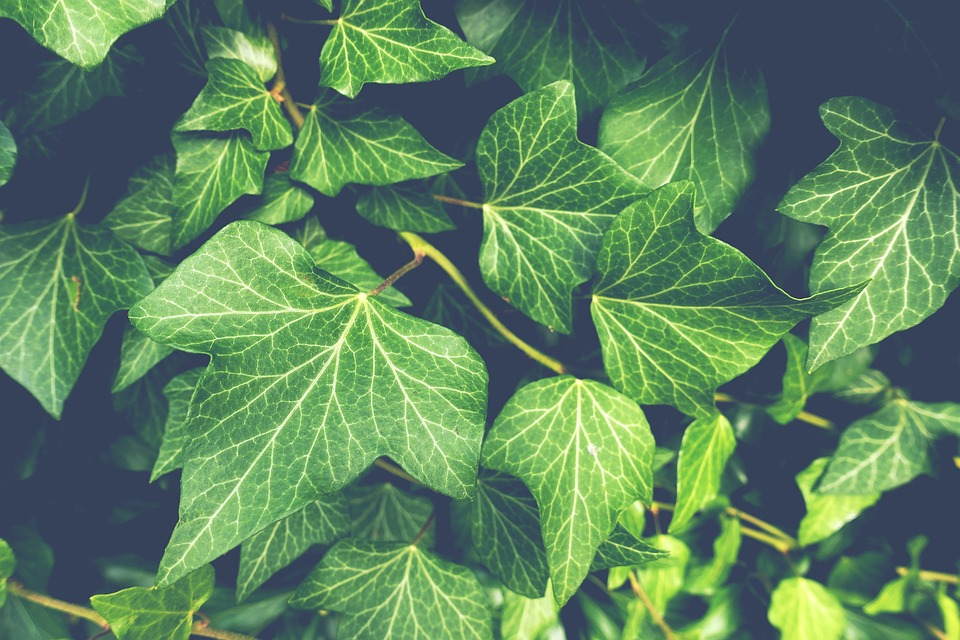 Ivy has fallen out of the Christmas plants tradition but dates back to ancient times.