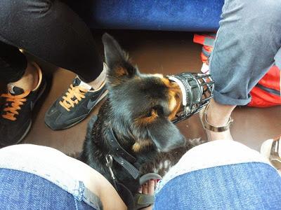 pies w pociągu otojanka