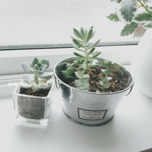 100円ショップの鉢に植えた多肉植物