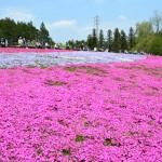 羊山公園芝桜の丘2