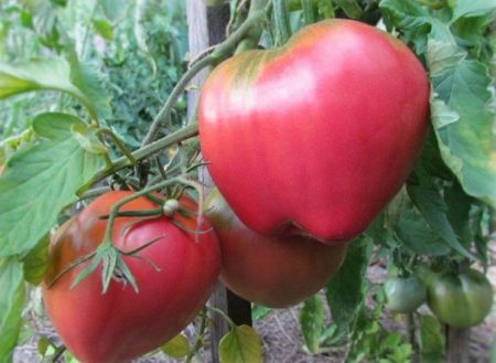 Томат батяня отзывы фото урожайность характеристика ...